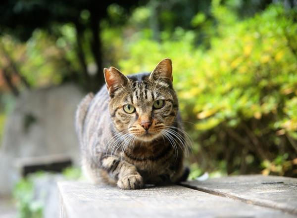 耳がV字にカットされている「地域猫」