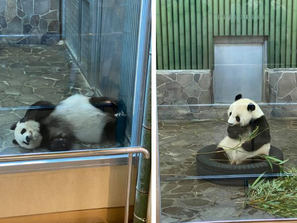 政務調査の一環で、パンダを見学。(撮影/大渕希郷)