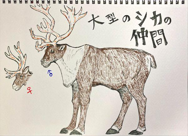 トナカイは大型のシカ科動物。ツノの前に突き出している部分は雪を掘ったりするのに役立つ。(イラスト/大渕希郷)