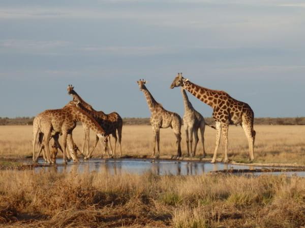 水を飲むキリンたちの群れ。ただのんびりしているだけなのに、なぜ彼らはこんなに美しいのだろう。そしてなぜ私たちは動物たちをいつまでも飽きずに見ていられるのだろう。