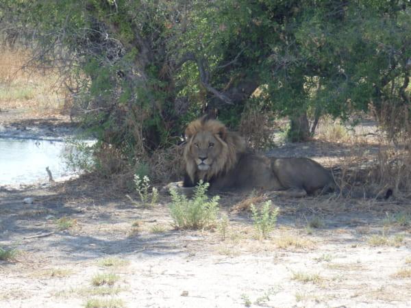 堂々として動じず、木陰から金色の瞳でただ私たちを見る雄ライオン。私は彼に憧れる。
