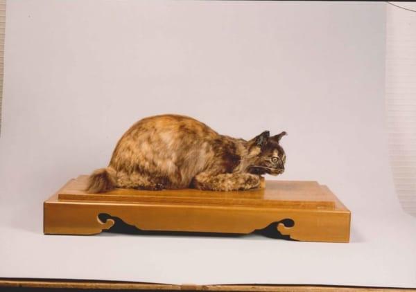 死後、剥製にするほど愛したペルシャ猫のペル(芦屋市谷崎潤一郎記念館提供)