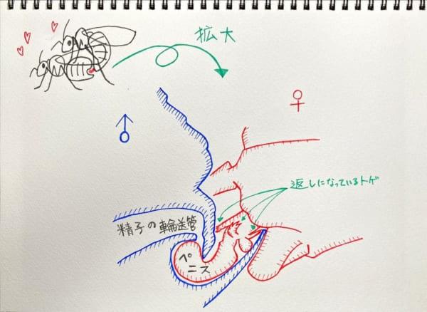 メスがオスに乗っかる形でガッツリ挿入されています。北海道大学プレスリリース(2014年4月18日)を参考に作成。(イラスト/大渕希郷)