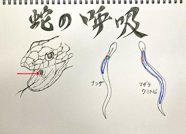 気管の先端部が口内で開口している(赤矢印)。 右図の青い部分が右肺。赤が心臓、緑は左肺。ウミヘビの左肺は退化してしまっている。(イラスト/大渕希郷)