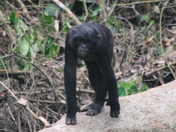 新型コロナの流行は生態系からの警告! ヒト由来の風邪で死亡したボノボが教えてくれること