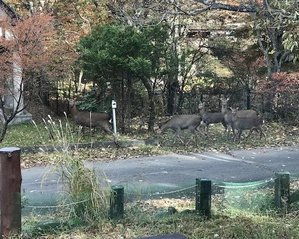 群れているのは、たいてい雌鹿と子鹿(2017年11月撮影)。