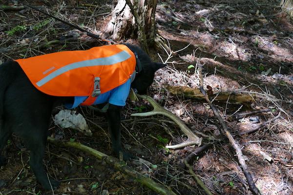 シカの角を発見した甲斐犬コウくん。