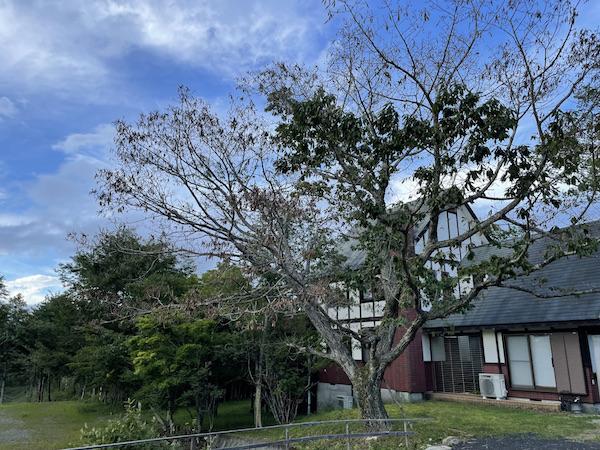 枯死してしまったペンションの木。一部の葉はまだ緑だがしおれている